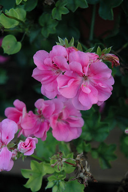 Geranium Ivy Precision Pink