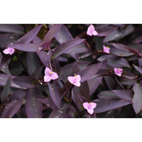 Setcreasea Purple Heart