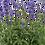 Thumbnail: Salvia Sallyfun Blue Emotion