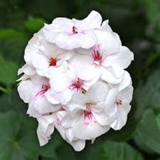 Geranium Ivy Precision White/Red