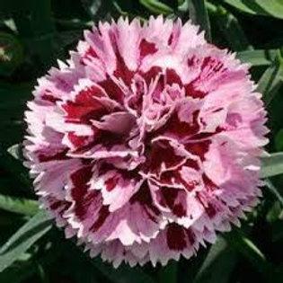Dianthus Supertrouper Velvet & White