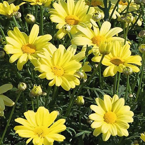 Argyranthemum Beauty Yellow
