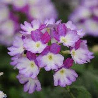 Verbena BeBop Lavender
