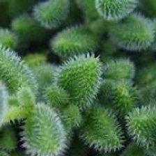 """Pickle Plant Succulent in Ceramic Pot """"HOT Item"""""""