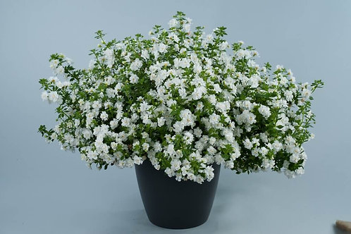 Bacopa Scopia Double Snowball