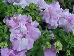 Double Cascade Orchid Mist Petunia (6 pack)