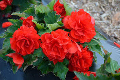 Nonstop Red Begonia