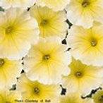 Madness Yellow Petunias (6 pack)