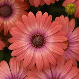 Osteospermum Serenity Coral Magic