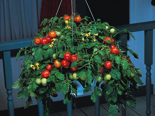 Hanging Basket Terenzo Tomato