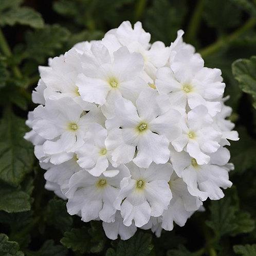 Verbena Endurascape White