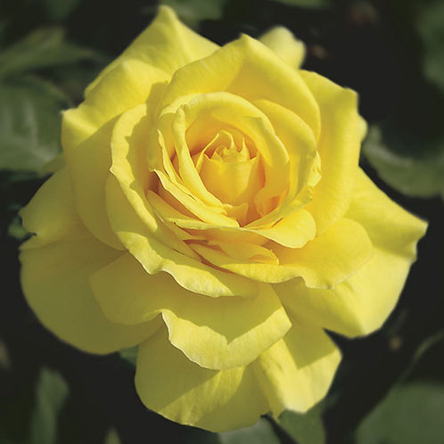 Tender Rose Sunsprite
