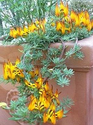 Lotus Vine Berthelotti Orange (Fillers & Vines)