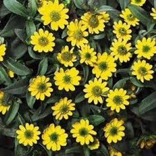 Sanvitalia Sunbini Yellow