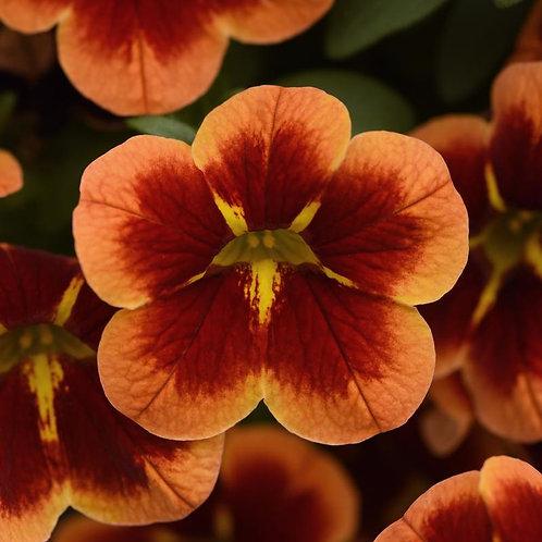 Calibrachoa Can Can Orange Bumble Bee