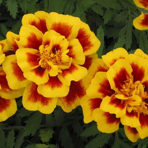 Marigold Safari Yellow Fire