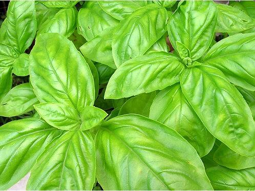 Basil Sweet Italian Large Leaf