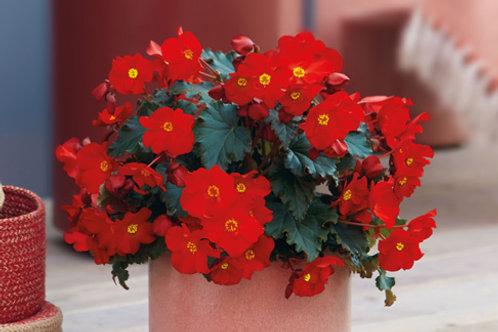 Reiger Begonia Macarouge