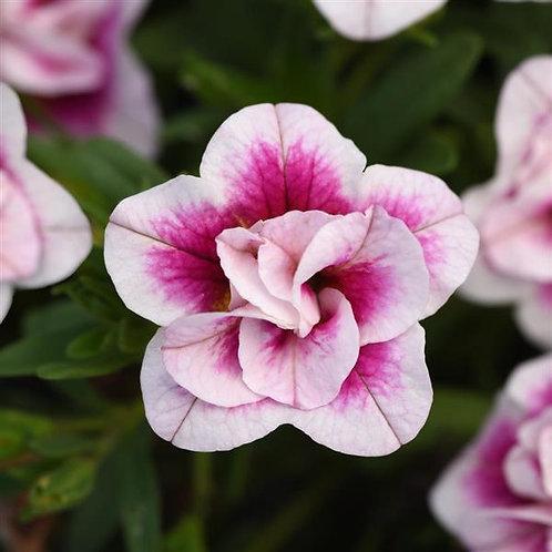 Calibrachoa Minifamous Uno Double Pinktastic