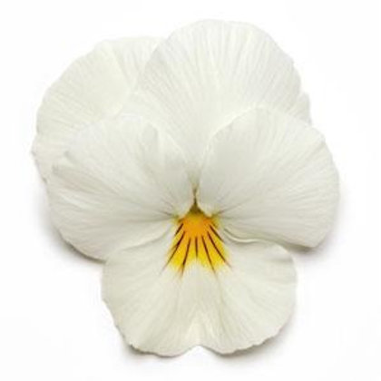 Pansy Cool Wave White