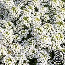 Allysum Wonderland White