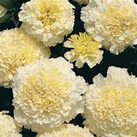 Marigold Vanilla