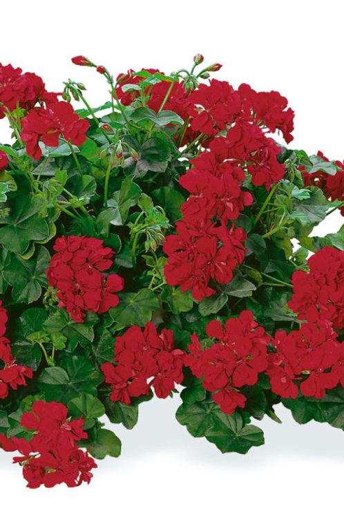 Geranium Ivy Dandy Deep Red