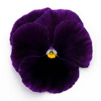 Matrix Purple Pansy