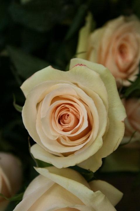 Tender Rose La Peria