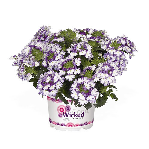 Verbena Wicked Cool Blue