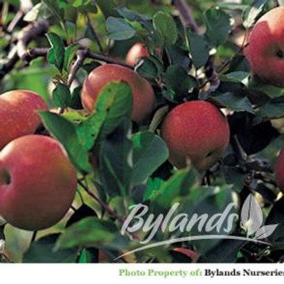 September Ruby Apple