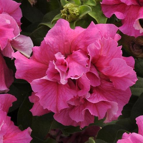 Petunia Double Cascade Pink