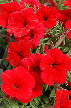Madness Red Petunias (6 pack)