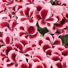 Geranium Regal Aristo Strawberry Cream (Martha Washington)