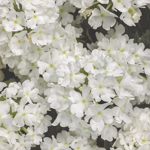 Verbena Superbena Whiteout