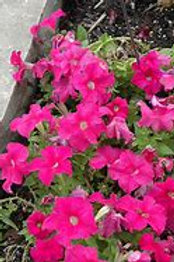 Pretty Grand Pink Deep Petunia (6 pack)