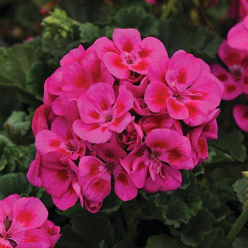 Geranium Zonal Fantasia Purple Sizzle
