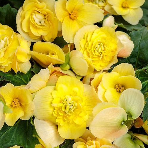 Double Delight Primrose Begonia