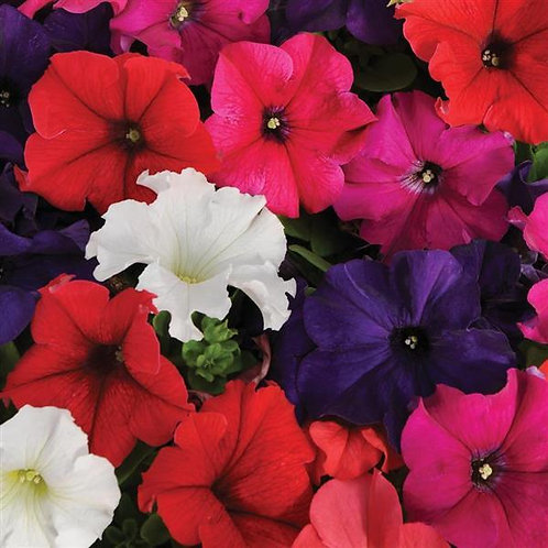 Petunia Pretty Grand Mix
