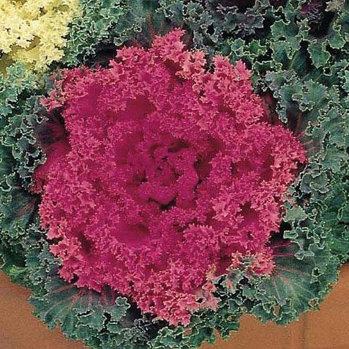 Flowering Kale Nagoya Rose