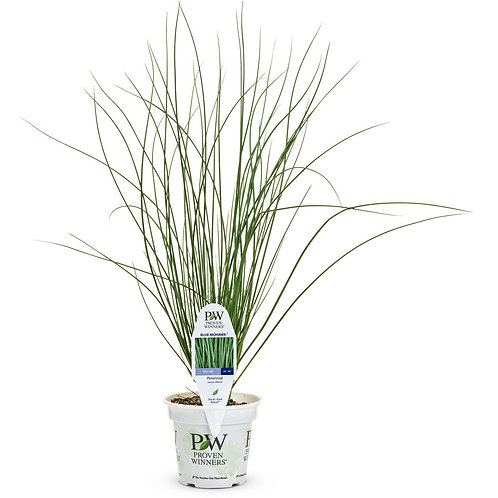 Juncus Blue Mohawk Grass