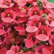 Diascia Morning Mist Basket Red
