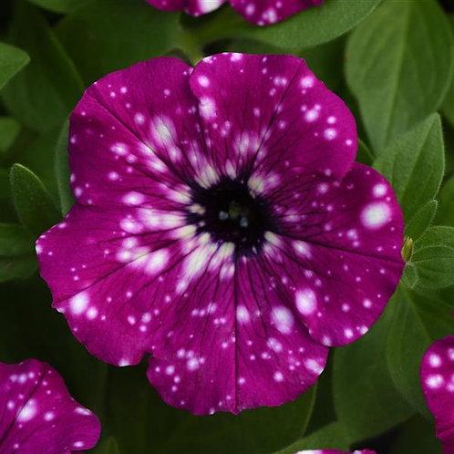 Headliner Electric Purple Sky Petunia