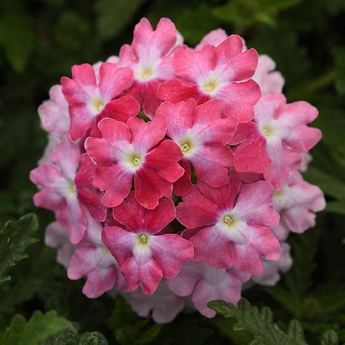 Verbena Endurascape Pink Fizz