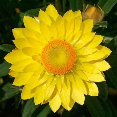 Bracteantha  Mohave Yellow (Strawflower)