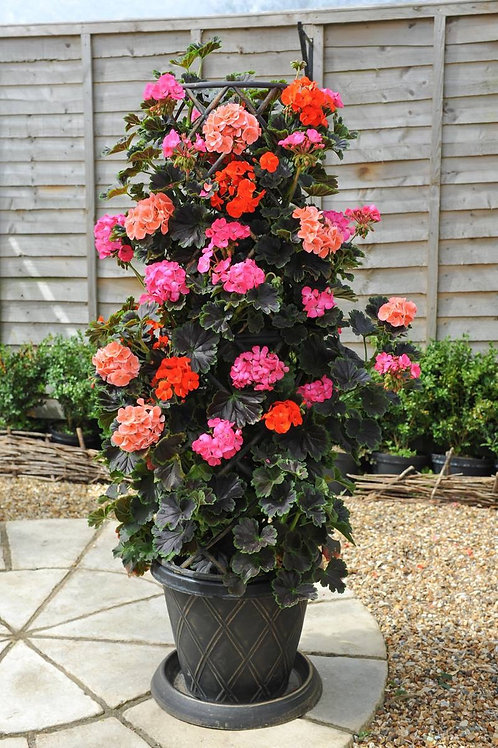Tall Dark & Handsome Geranium Planter