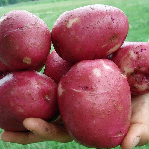 Seed Potatoes - Norland 5 lb Bag (in store pick up only)