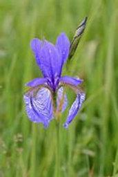Siberian Ruffeld Velvet Iris