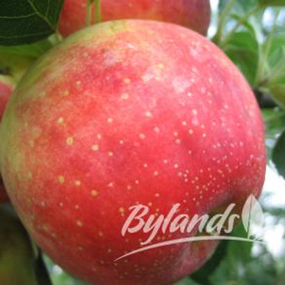 Dwarf Odyssey Apple