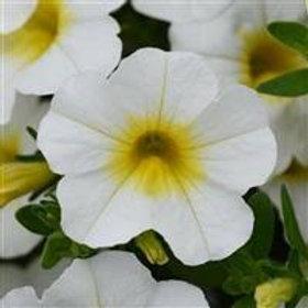 Calibrchoa Minifamous Neo White